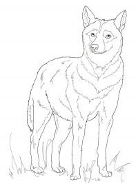 Italian Wolf has a grey-fulvous colour of the pelt Coloring Page