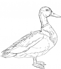 Male Mallard duck has curly tail Coloring Page
