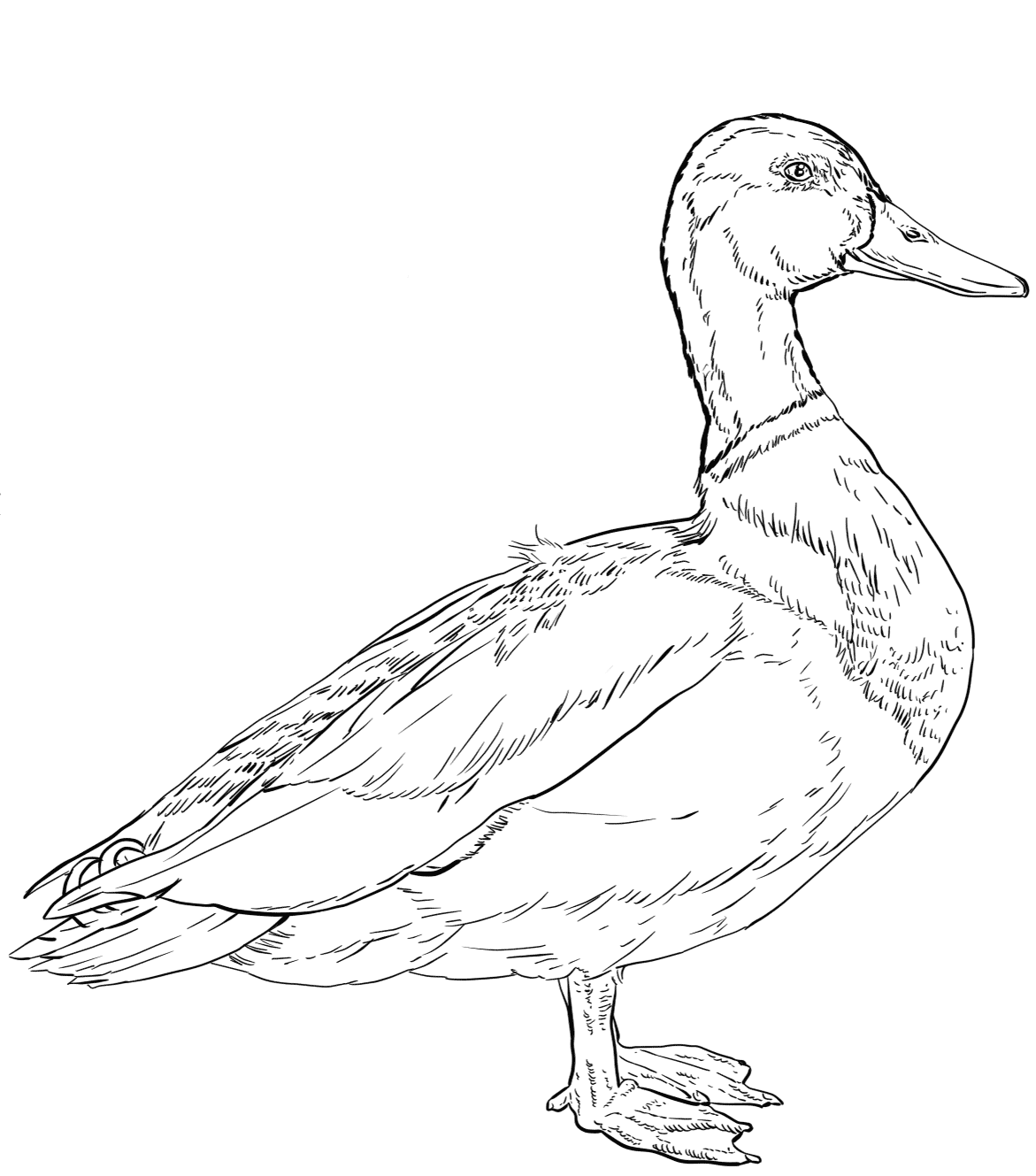 Male Mallard duck has curly tail Coloring Pages