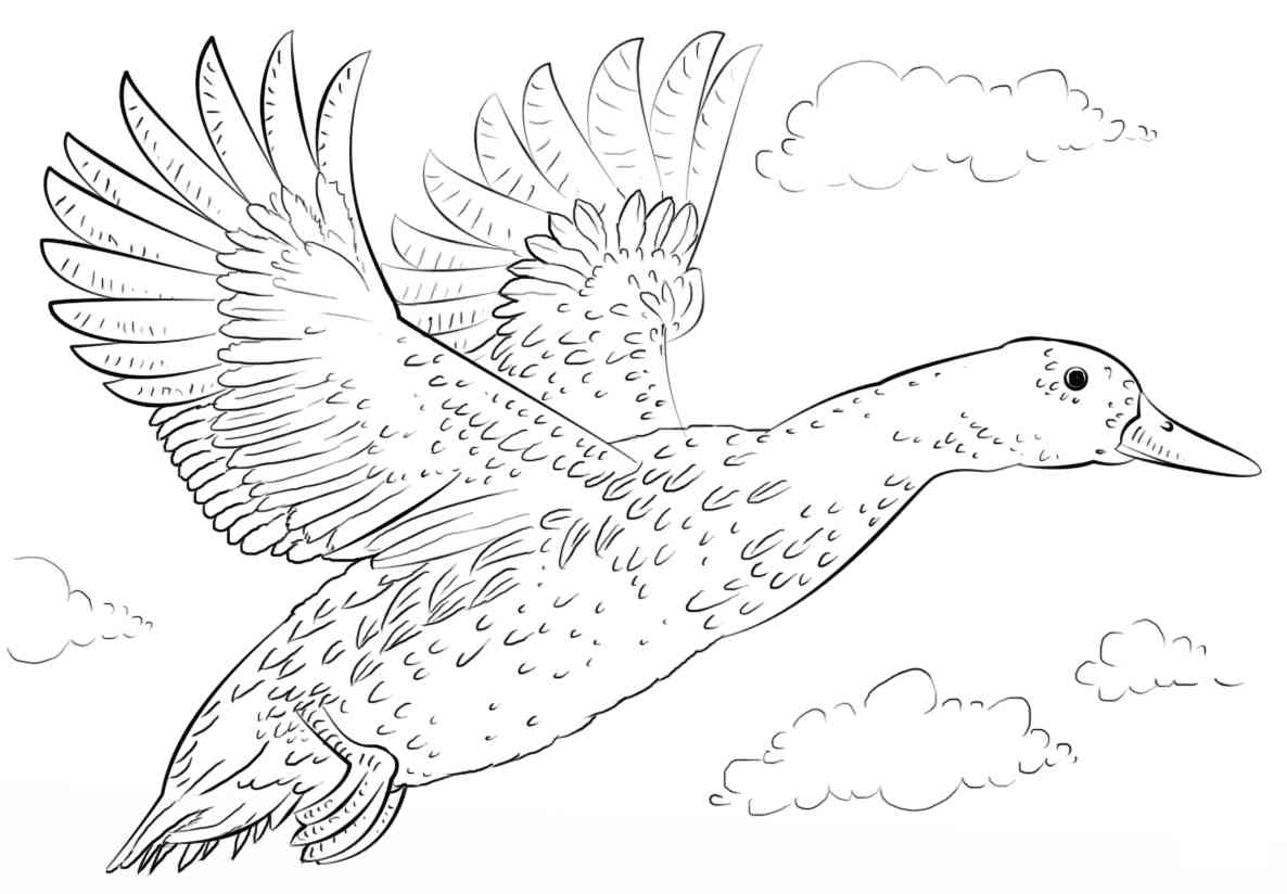 The wings of a mallard duck spread when taking off Coloring Pages