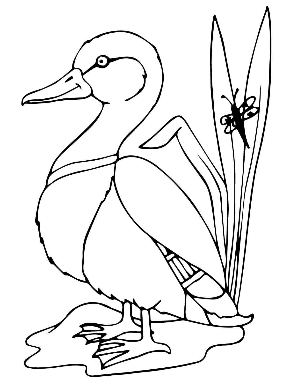 Mallard duck has hefty bodies and rounded heads Coloring Pages