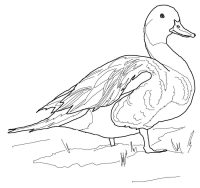 Northern pintail duck has long neck and tail Coloring Page