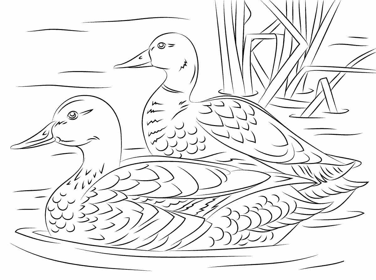 Pair of Mallard ducks in city pond Coloring Pages
