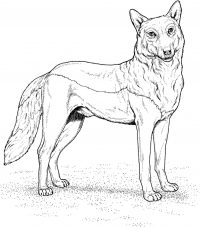 Red Wolf has tall pointed ears and long Coloring Page