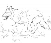 Running Mexican grey wolf Coloring Page