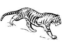 South China Tiger prepares to attack prey Coloring Page