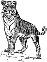 The tiger has a very powerful stance Coloring Page