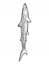 Tiger shark has characteristic vertical bars that cover the sides of its body Coloring Page