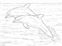 Two Alantic Bottlenose Dolphins Coloring Page