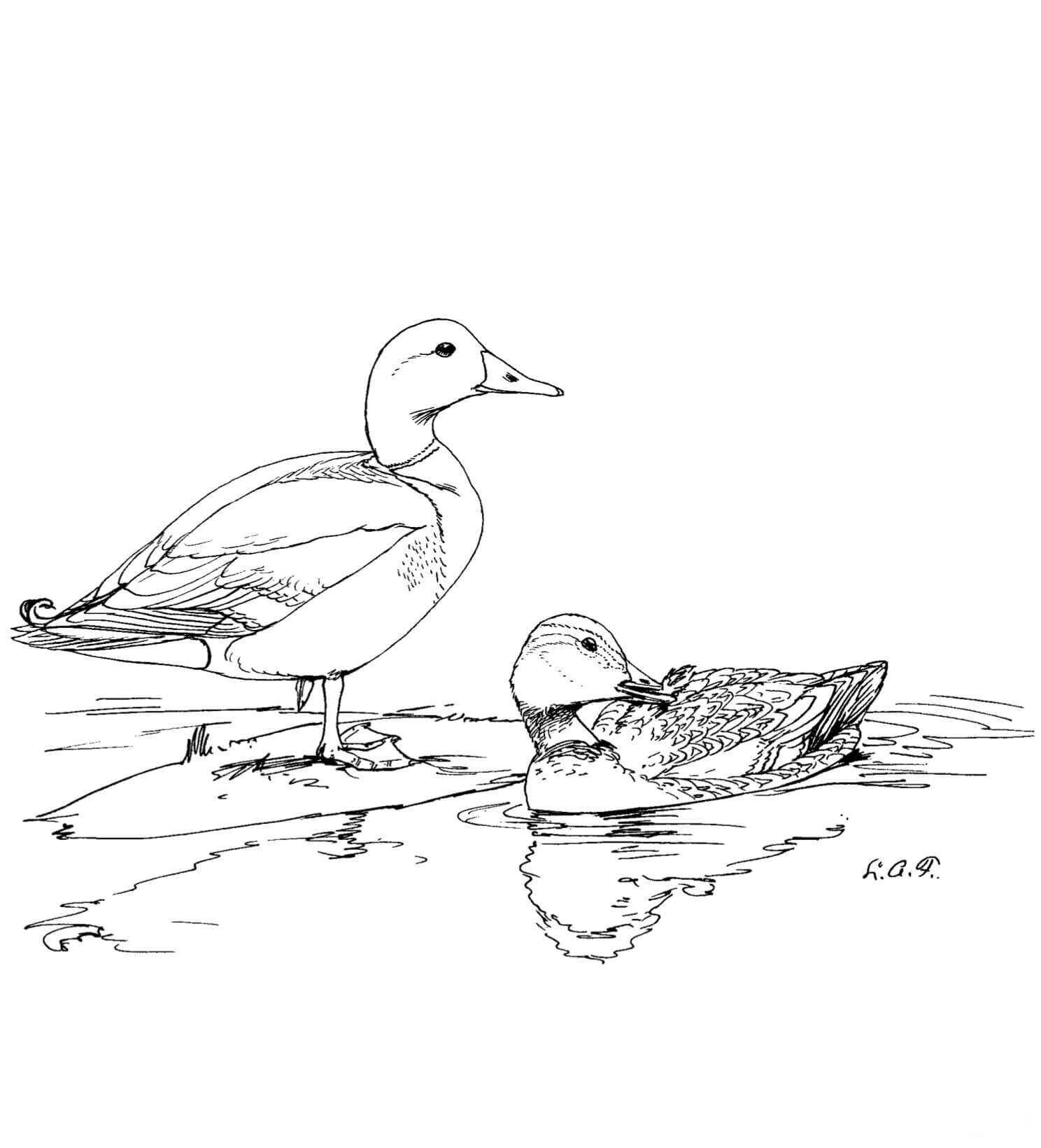 Two Mallard ducks in the pond Coloring Pages