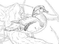 Wood duck drake has a boxy and crested head Coloring Page