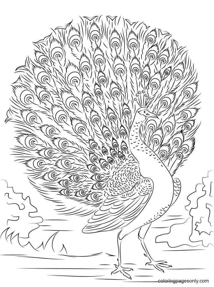 Advanced Peacock Coloring Page