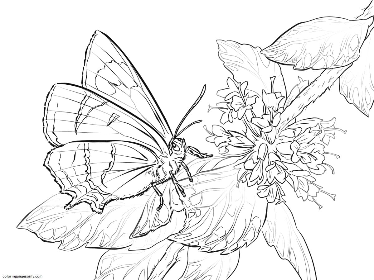 Brown Hairstreak Butterfly Coloring Page