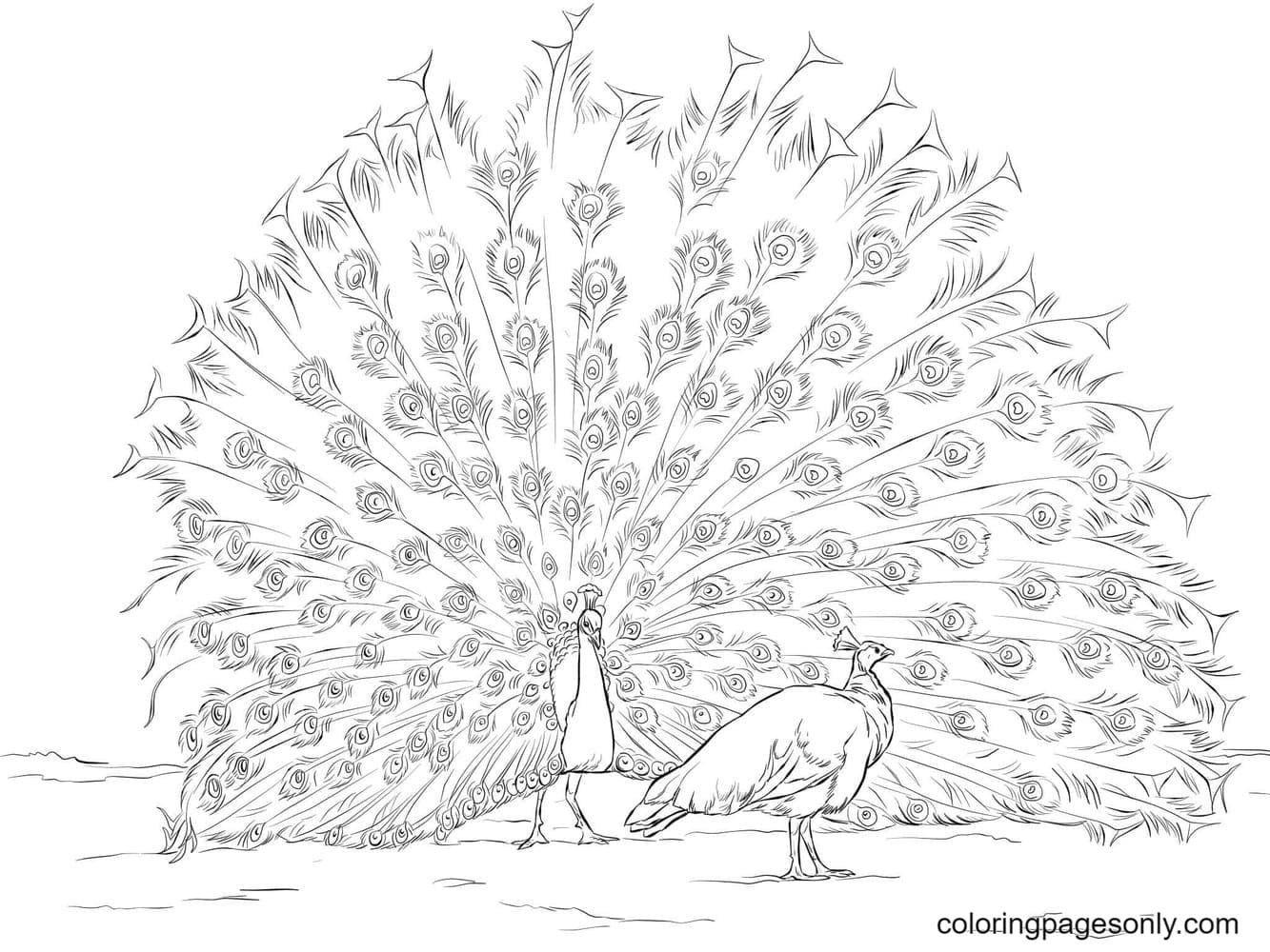 Indian peafowls Coloring Page