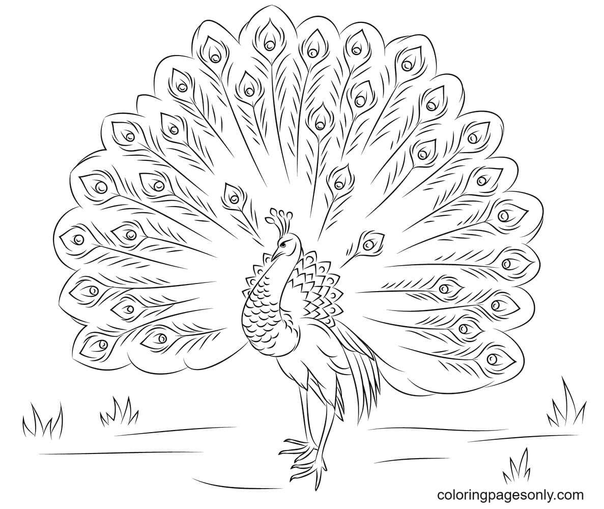 Peacock Beautiful 0 Coloring Page