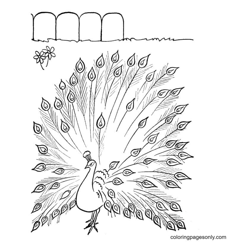Peacock Printable 1 Coloring Page