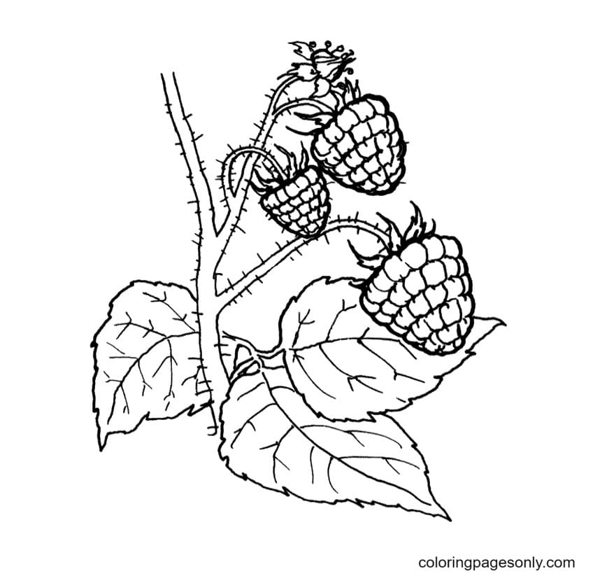 Raspberries Fruit Coloring Page