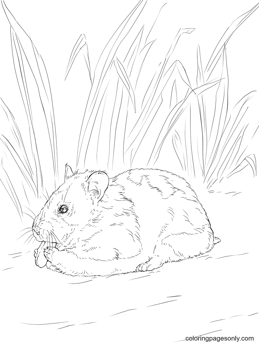 Syrian Hamster eating nut Coloring Page