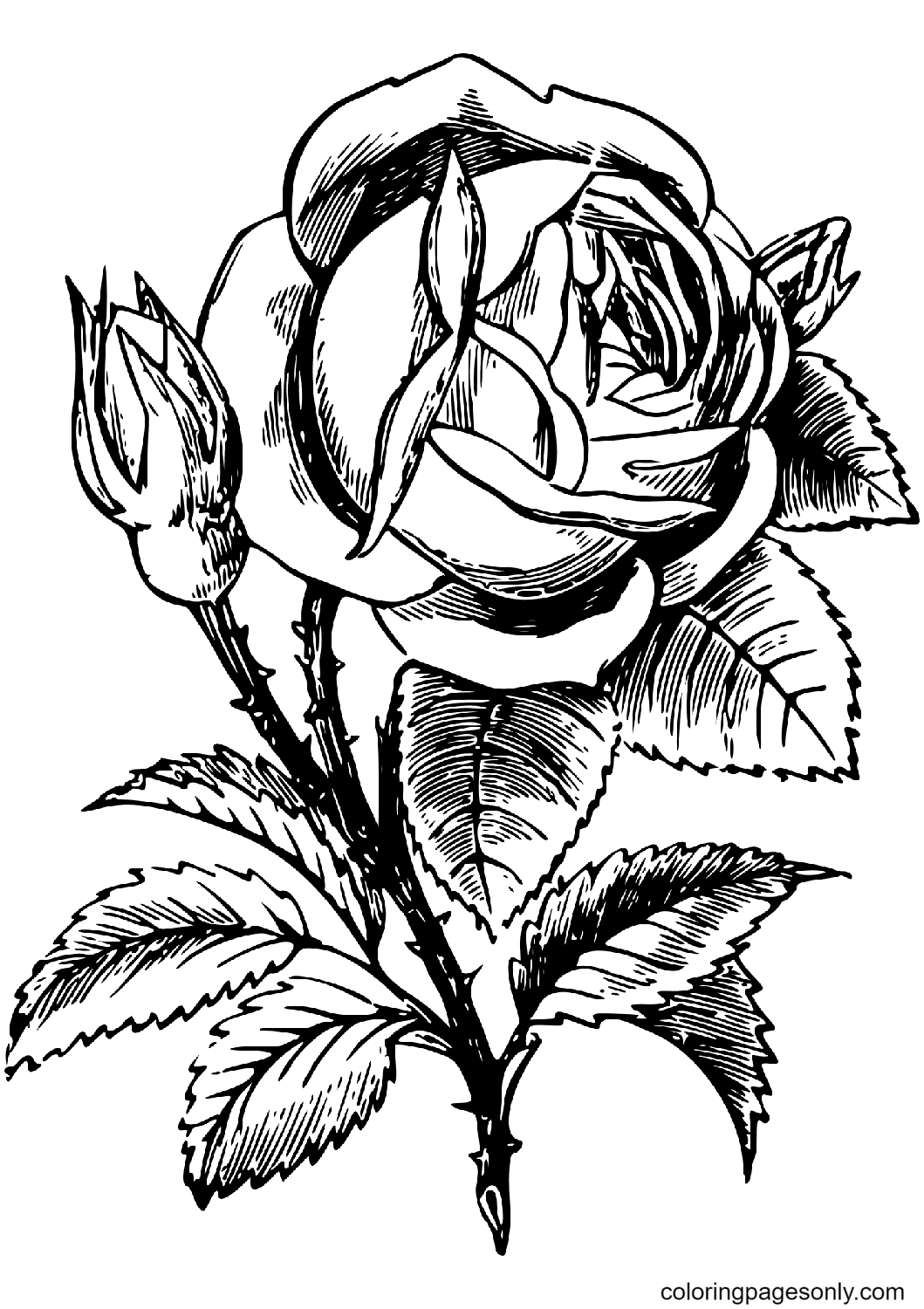 A Rose and A Rose Bud Coloring Page