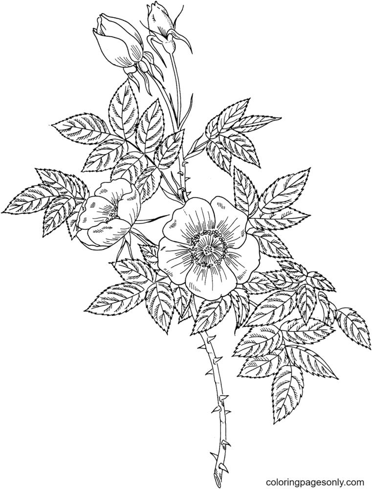 Austrian Copper Rose Coloring Page