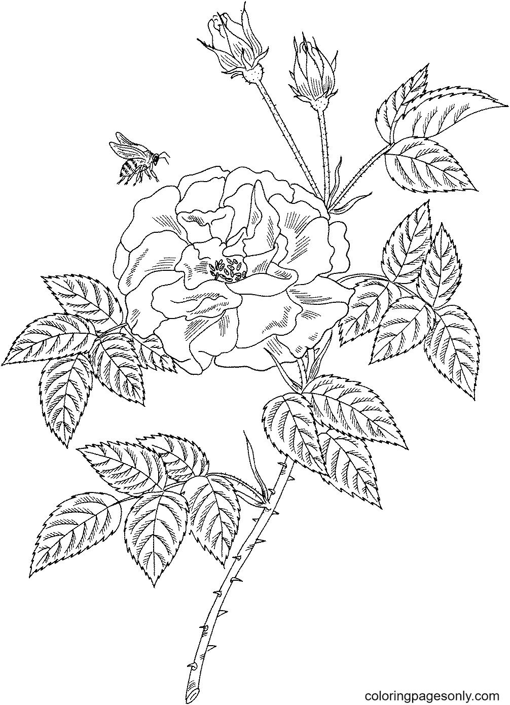 Bee on Rosa Mundi Rose Coloring Page