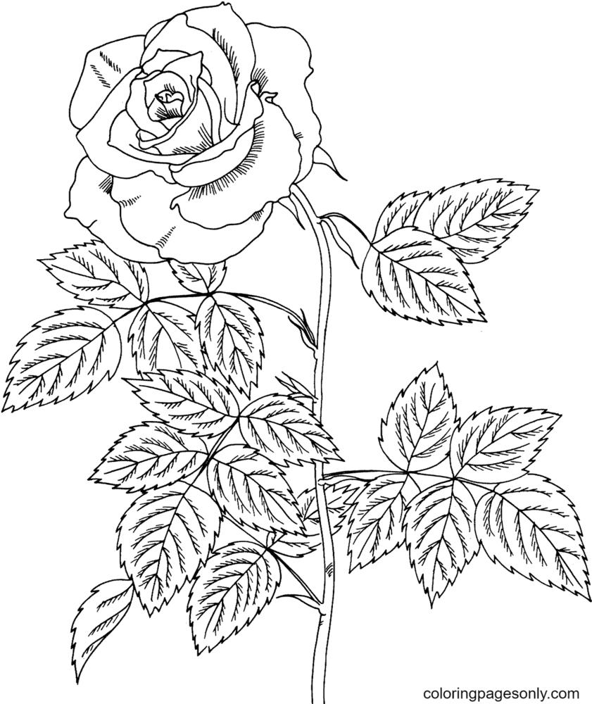 Brandy Hybrid Tea Rose Coloring Page