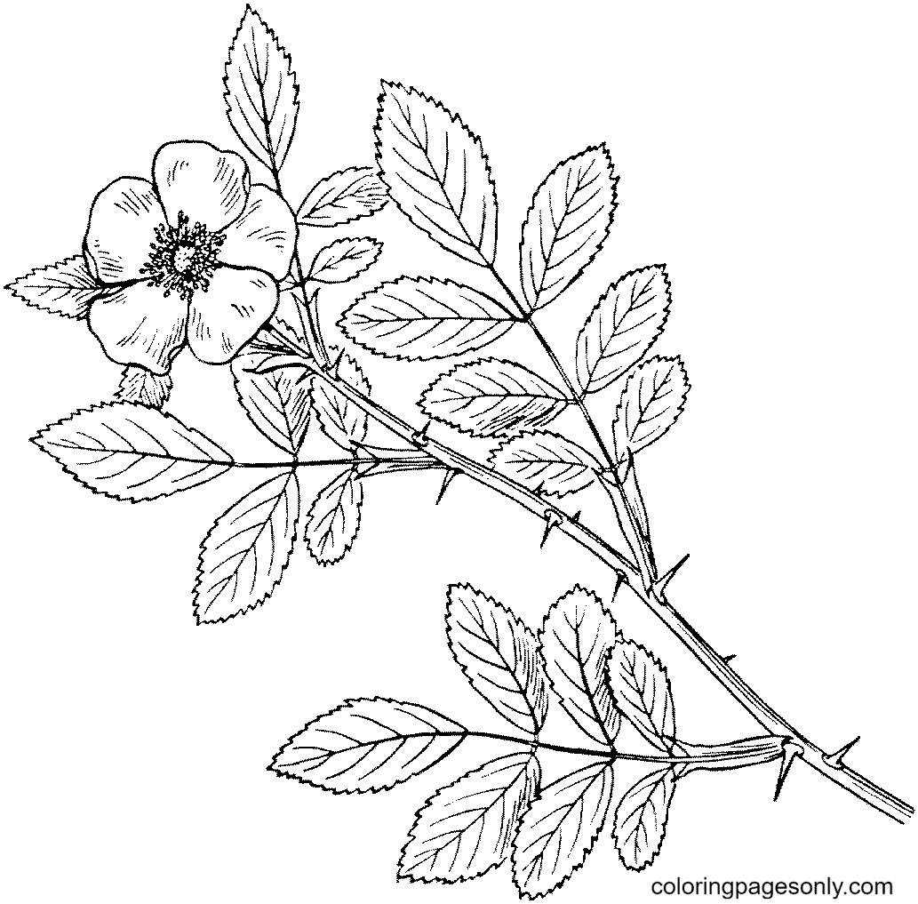 Carolina Rose Coloring Page