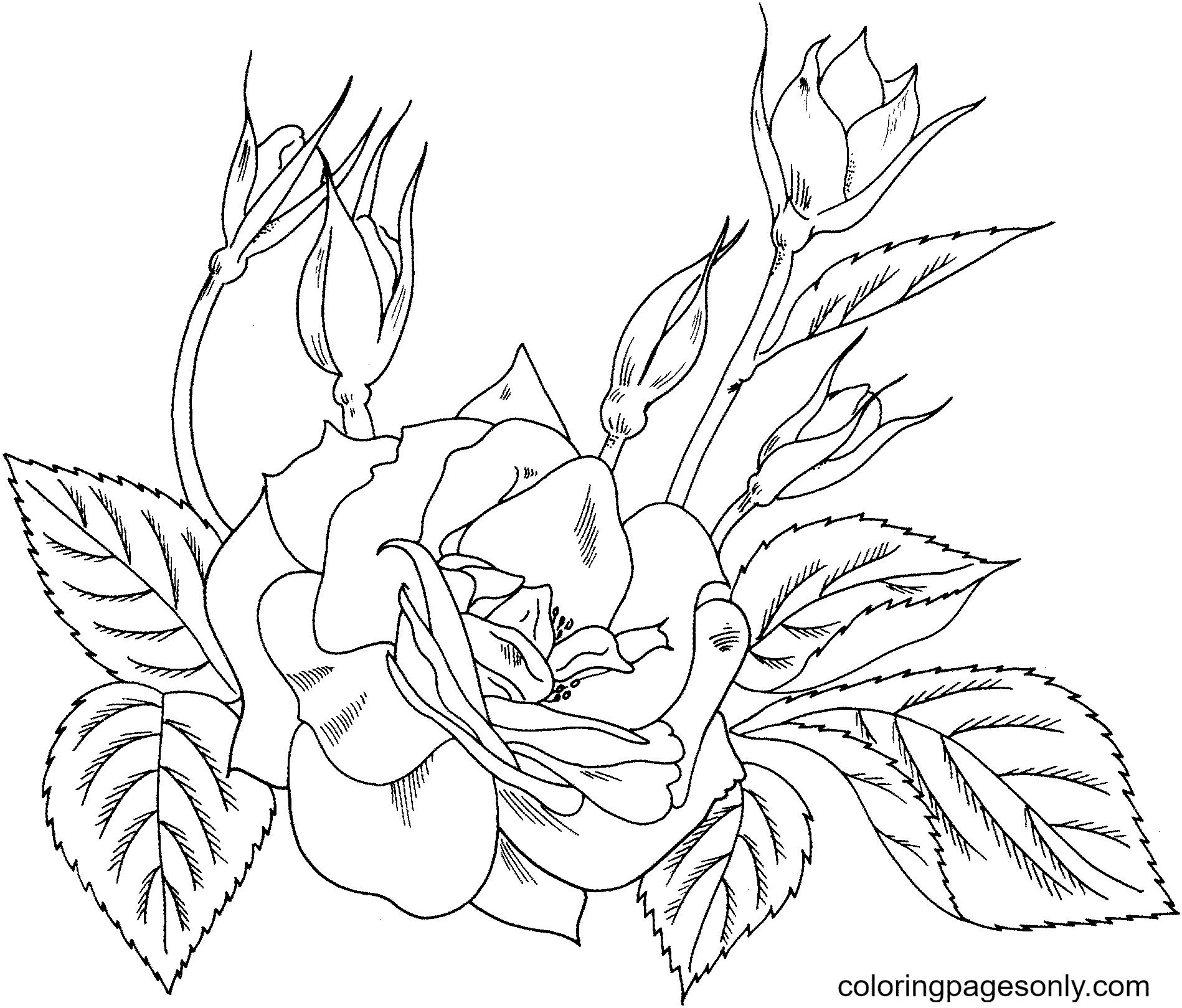 Charisma Yellow Red Floribunda Rose Coloring Page
