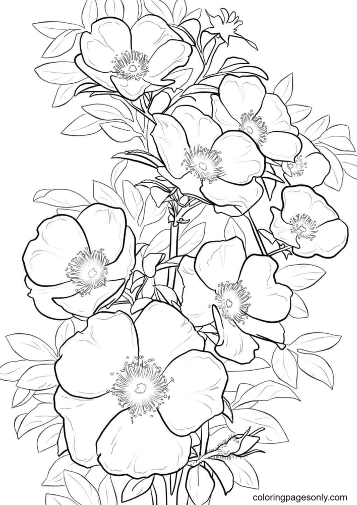 Cherokee Rose Coloring Page