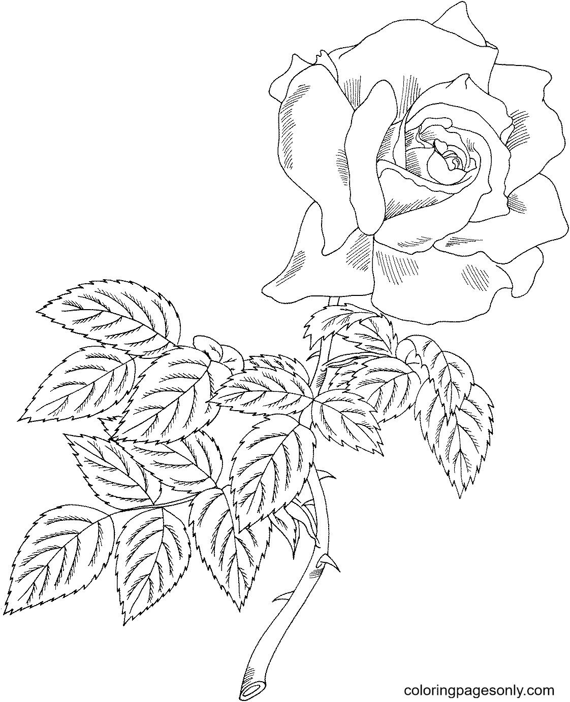 First Prize Hybrid Tea Rose Coloring Page