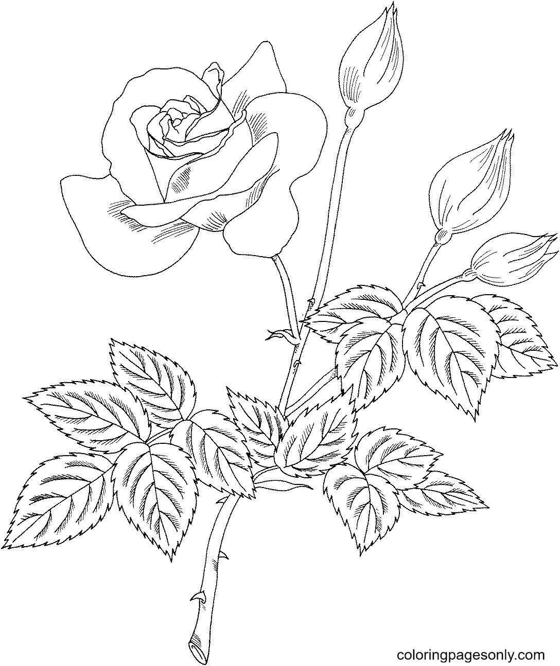 Grandiflora Rose 'Cherry Vanilla' Coloring Page