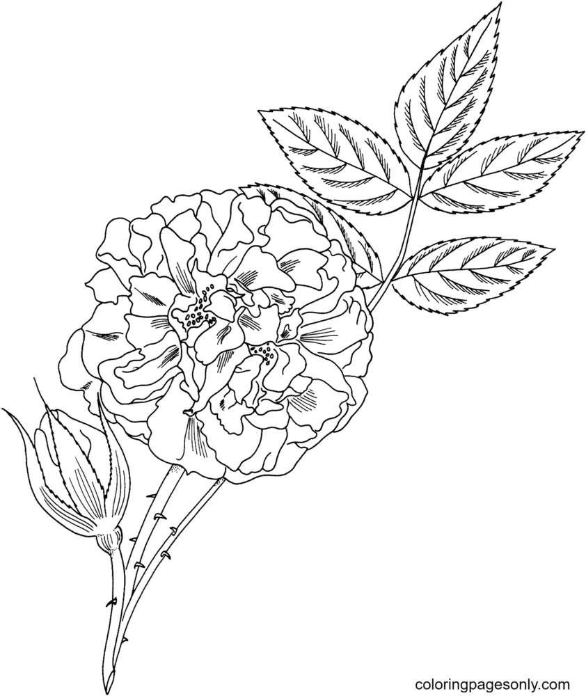 'Great Maiden's Blush' Alba Rose Coloring Page