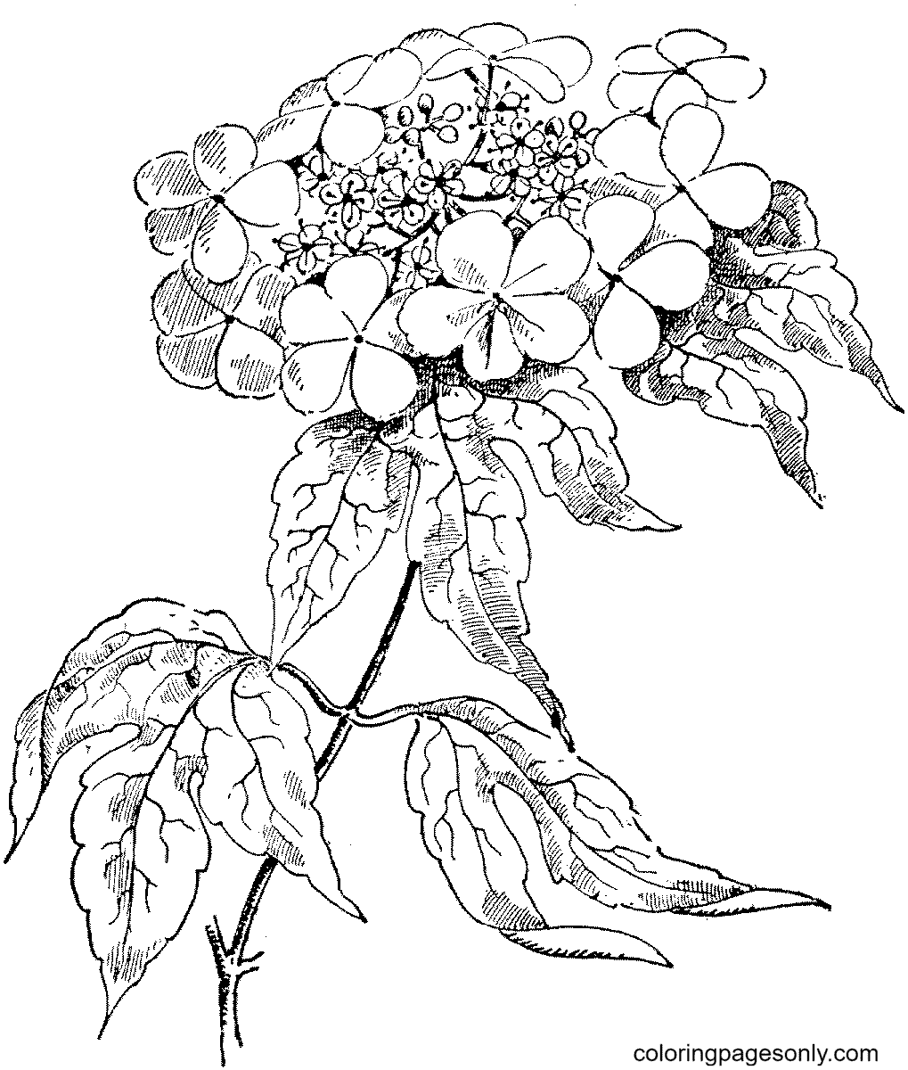 Guelder Rose Coloring Page