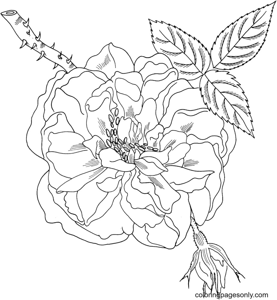 Lancaster's and York's Rose Coloring Page