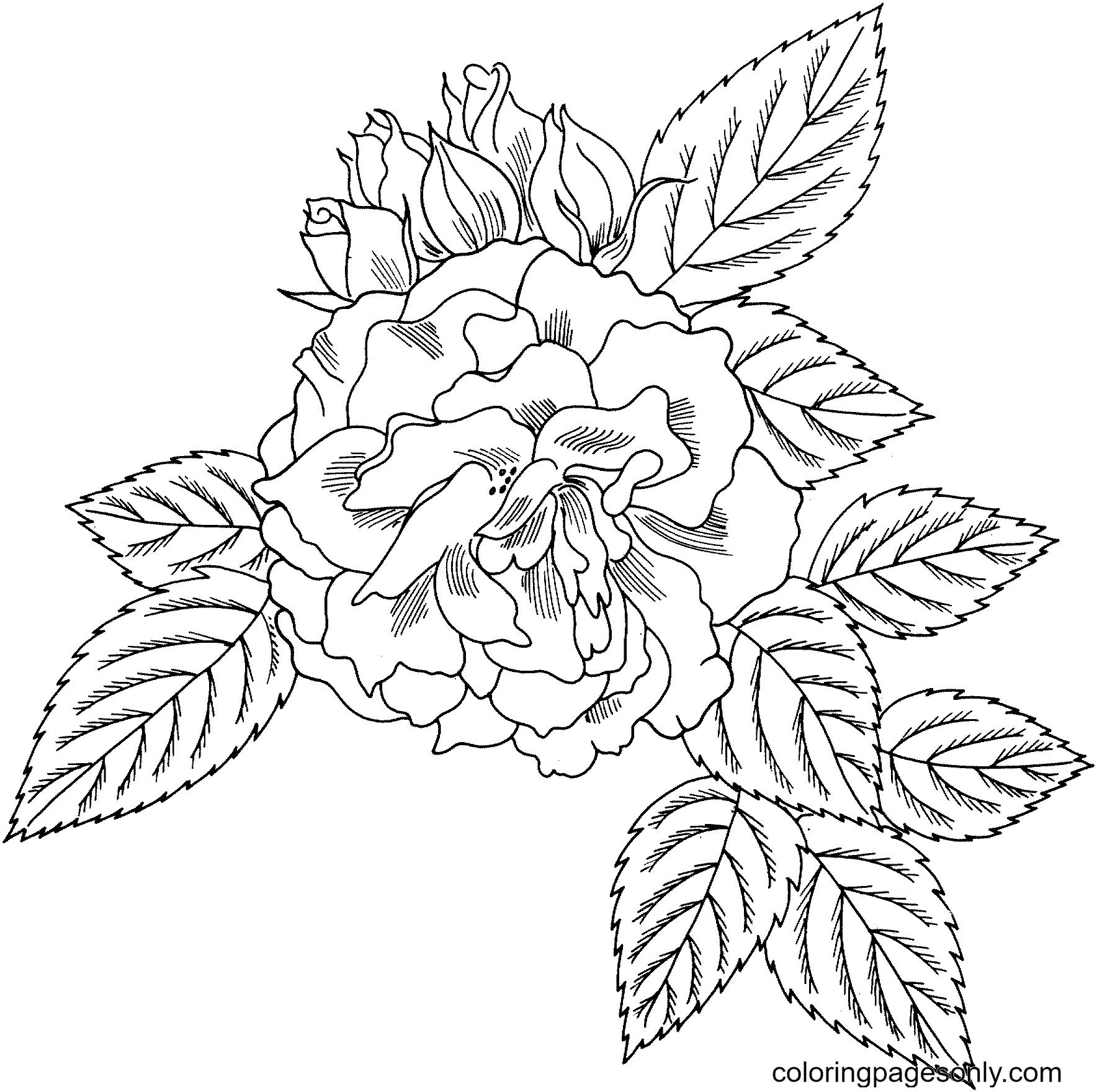 Rosa 'Bahia' Floribunda Rose Coloring Page