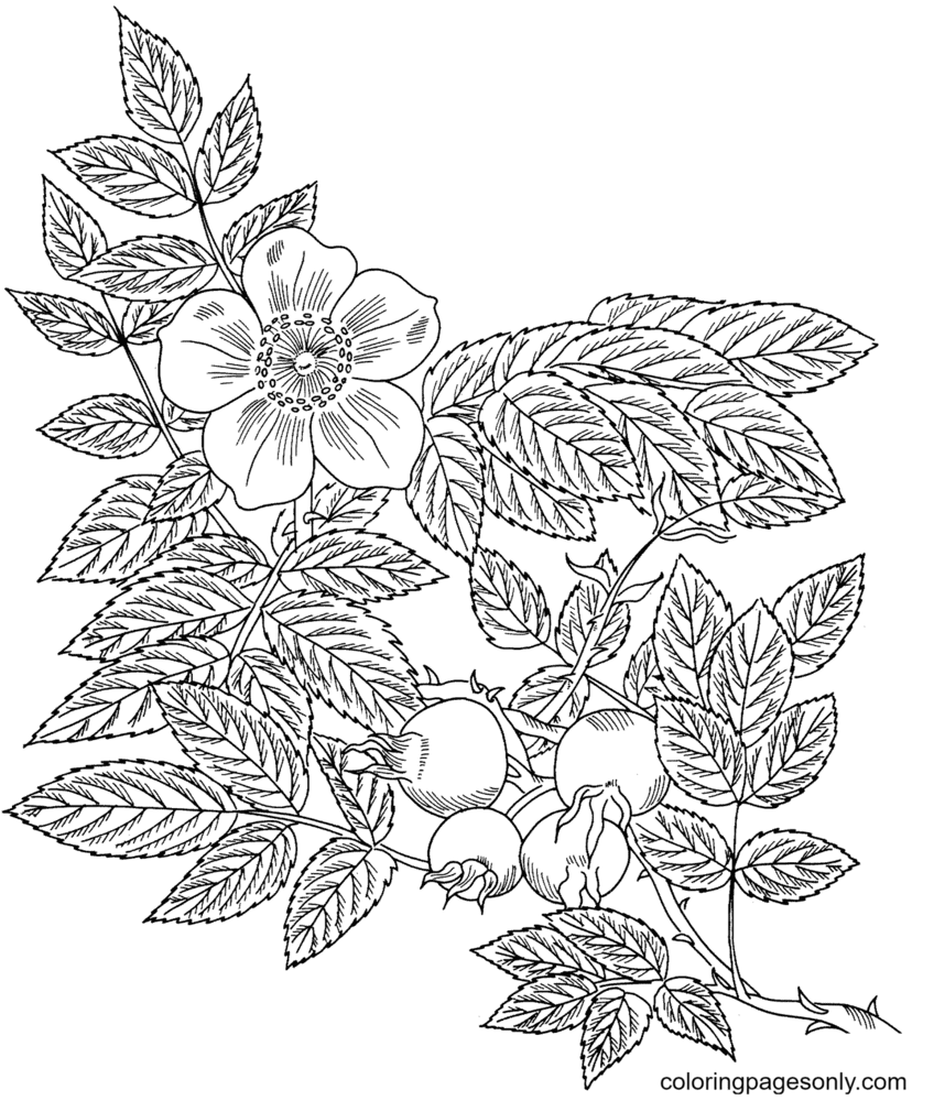 Sweet Briar Rose Coloring Page